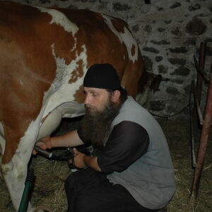 Milking the cows 6