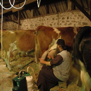 Milking the cows 8