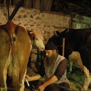 Milking the cows 12