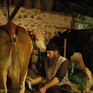 Milking the cows 13